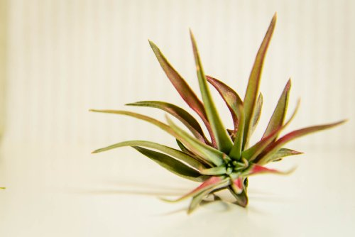 Hinterland Trading Air Plant Velutina Tillandsia Beautiful Little Houseplant