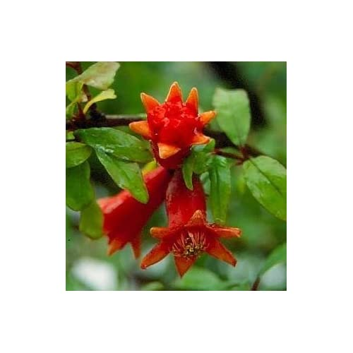Wholesale Dwarf Pomegranate - 30 Seeds - Punica supplier