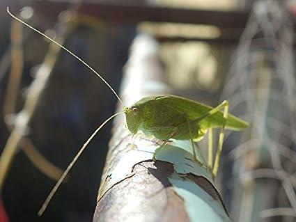 0cdb6ea1 Amazon.com: Home Comforts Laminated Poster Grasshopper Long Probe ...