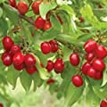Cornelian Cherry 15 Seeds Cornus mas Cherry Tree Edible Fruits