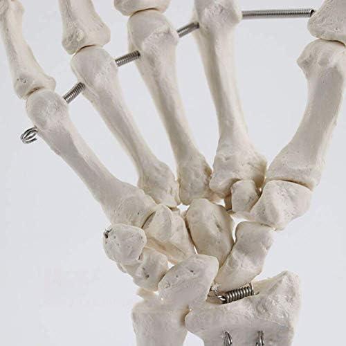 Handbotmodel, Botgewrichtsmodel van menselijke hand, Vingerbot/palmbot medisch onderwijs experimenteel materiaal, Voor medisch onderzoek en onderwijs