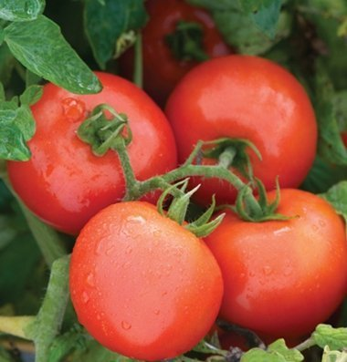 David's Garden Seeds Tomato Slicing Defiant PHR (Red) 25 Organic Hybrid Seeds