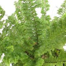 plantsguru Fern Small Plant Outdoor Plants at amazon