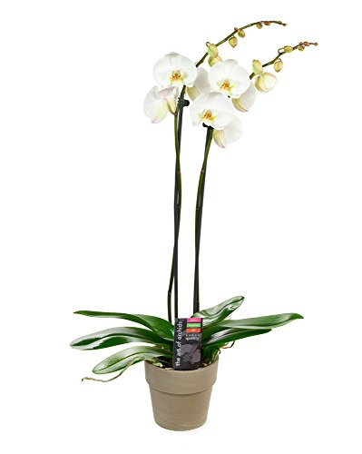 KaBloom Live Orchid Plant Collection: White Phalaenopsis Orchid Plant (18-24 Inches Tall) (2 Stems) In Grey Terracotta Clay Pot by KaBloom