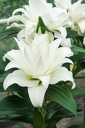 (Bloomsz 9873 My Wedding Lily (5-Pack) White)