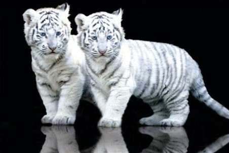 White Tiger Cubs Twins Animal Photography Poster 24 x 36 inc