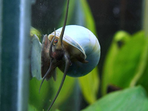 Aquatic Arts Deluxe Mystery Snail Combo Pack (Pomacea bridgesii - Live Young Adult Snails! 1/2 to 2+ inches) - 1 Gold, 1 Blue, 1 Black, 1 Albino, 1 Ivory Mystery Snail (Algae-Eaters)
