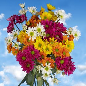 GlobalRose 144 Assorted Fresh Cut Chrysanthemums Daisies Flowers - Fresh Flowers For Birthdays, Weddings or Anniversary. by GlobalRose (Image #2)