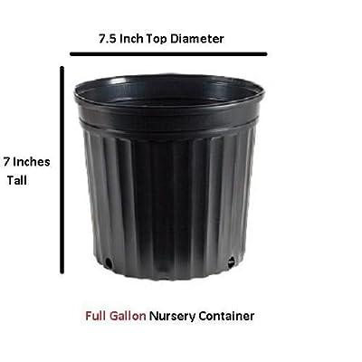 Wintergreen Korean Boxwood - Live Plant - Full Gallon Pot : Garden & Outdoor