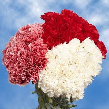 Long Stem Christmas Color Carnations | 300 Christmas Color Carnations Long by Global Rose (Image #4)
