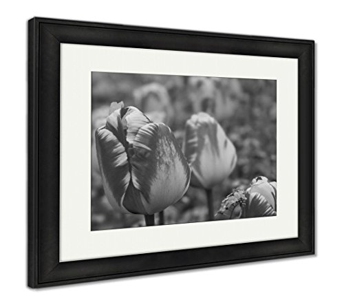 Ashley Framed Prints Darwin Hybryd Tulip Flame, Modern Room Accent Piece, Black/White, 34x40 (frame size), Black Frame, AG6042976