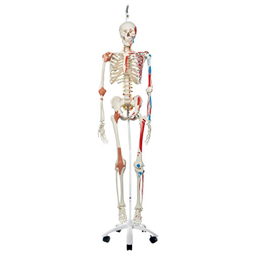 Skeleton Muscles Human (3B Scientific A13/1 Plastic Super Human Skeleton Model SAM, 73.2 Inch Height)