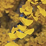 GINKGO BILOBA - Maidenhair Tree - LEAVES ARE USED TO ENHANCE MEMORY - 1 - Year Tree