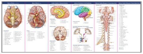 Illustrated Pocket Guide (Anatomical Chart Company's Illustrated Pocket Anatomy: Anatomy of The Brain Study Guide)