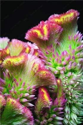 Green Seeds Co. variedades de cresta de gallo, 200pcs / bag bonsai cresta de gallo, Celosia Cristata hermosa planta de bonsai de flor jardín de casa: varios colores: Amazon.es: Jardín