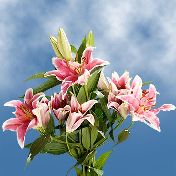 GlobalRose 35 Blooms of Stargazer Oriental Lilies 10 Stems - Fresh Flowers for Delivery by GlobalRose