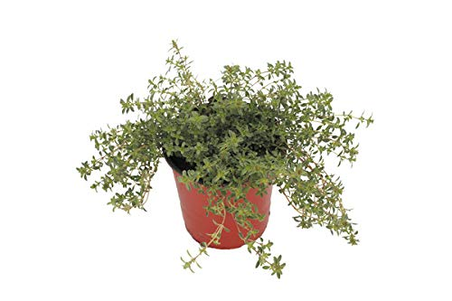 Thyme 'Creeping Red' Herb Plant (Pack of 12) by Dutch Country Classics (Image #2)