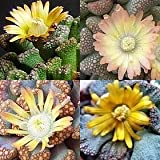 Titanopsis mixed - Succulent - 15 seeds