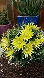 1 Mammillaria Longimamma, Cactus and Succulents, No Ariocarpus