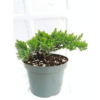 Bonsai Tree Juniper Garden 6'' Pot with Bonsai Fertilizer Slow Release: Garden & Outdoor