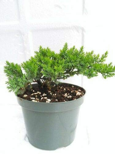 Bonsai Tree Juniper Garden 6'' Pot with Bonsai Fertilizer Slow Release
