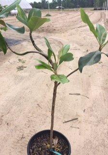 Amazoncom Dd Blanchard Magnolia Tree 2 Year Old Tree Garden