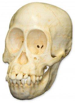 Bornean Orangutan Skull (Juvenile) (Teaching Quality Replica) (Replica Ape Skull)