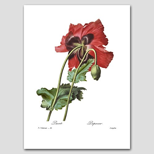 Poppy Wall Art (Red Home Decor, Natural History Print, Botanical Flower) Pierre Redoute -- Unframed