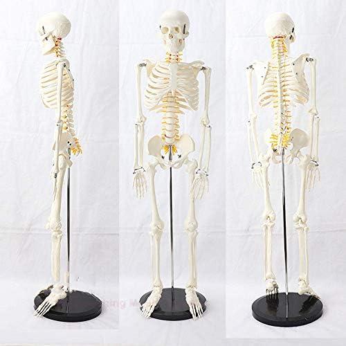 85CM柱 脊髄神経モデル メディカル 学ぶ スケルトンモデル骨格モデルの学習人体模型骨格標本 骨格模型 骨模型 標本