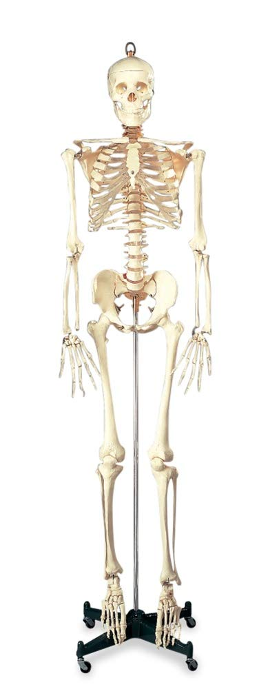 Image of Science Education Anatomical Chart Company Budget Bucky Anatomical Skeleton Model with Stand