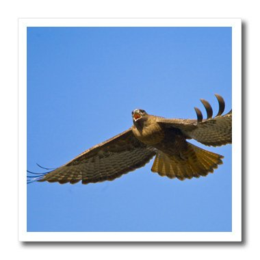 3dRose ht_95637_3 Washington State, Red-Tailed Hawk, Bird-US48 GLU0042-Gary Luhm-Iron on Heat Transfer for White Material, 10 by 10-Inch
