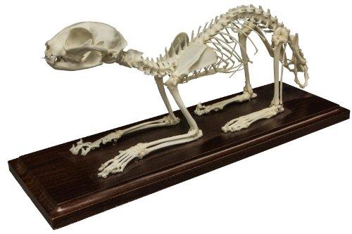 Cat Skeleton Natural Bone Economy