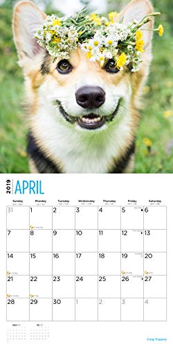 Corgi Puppies 2019 16 Month Wall Calendar 12 x 12 Inches by Bright Day Calendars (Image #2)