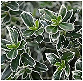 Shop Meeko gardenexpert Euonymus japonicus 'microphyllus Albovariegatus' 15 Centimetri Pot Size Arbusto