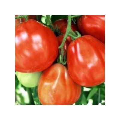 Italian Red Pear Tomato Seed : Tomato Plants : Garden & Outdoor
