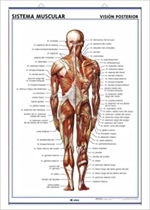 Lámina sistema muscular, visión ventral y dorsal: Láminas de ...