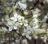Native Cherokee Choctaw Plum / Prunus angustifolia - 5 seeds (Organically Grown)