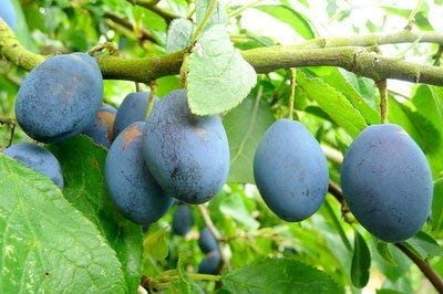 Bare Rooted 3fatpigs/® Merryweather Damson Tree 4-5ft Bare Root Self-Fertile /& Heavy Cropping