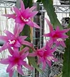 Epiphyllum Delicate Jewels - Orchideenkaktus Delicate Jewels - 5 Samen