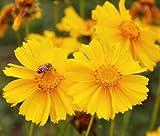 Coreopsis LANCELEAF Yellow Dwarf Coreopsis Lanceolata - 2,500 Bulk Seeds