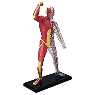 4D-Vision-Human-Anatomy-Human-Muscle-And-Skeleton-Model