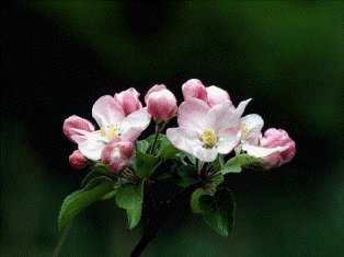 Pack of 1, 25 Lbs. Fragrance Oil Apple Blossom Scent, Gel Compatible & Body Safe