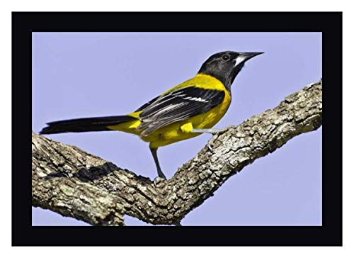 (Texas, Santa Clara Ranch Audubon Oriole on Limb by Fred Lord - 24