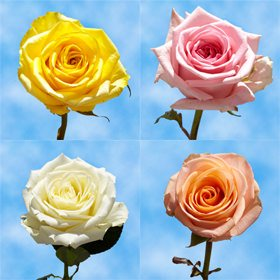 GlobalRose Send Flowers On Mother's Day   75 Long Stem Assorted Colors Roses