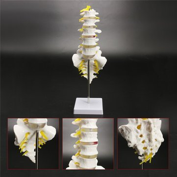 (Bumatech Spinal Column Exemplar - Size Chiropractic Human Anatomical Lumbar Vertebral Spine Anatomy Model - Worthy Thorn Manakin Backbone Pattern Fashion Empirical Exemplary - 1PCs)