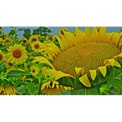 MABES WAREHOUSE Giant Mammoth Sunflower 8 Seeds - Helianthus Annuus Flower Seed, Large Head Yellow Flower Sunflower Seeds to Plant, Flower Seeds for Planting Home Garden : Garden & Outdoor