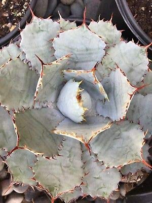 1 Agave Guadalajara - Currently in a 9'' Pot Large Live Plant by runner (Image #1)