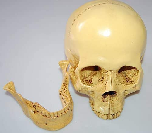 Menselijke Schedel Replica model Anatomisch skelet Halloween decoratie schedel van medische hars ambachten ornamenten (3Pack)