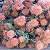 Outsidepride Gomphrena Salmon - 1000 Seeds