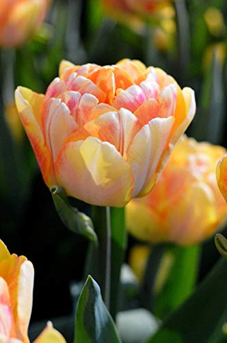 6 Yellow Orange Pink Tulip Bulbs Bi Color Spring Flower Garden Hardy Perennial